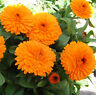 50 Pot Marigold Seeds Calendula Garden Flowers