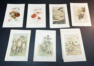 1903 Mushroom color lithographs, original prints, group of 7 pieces