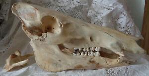 SCHÄDEL Tierschädel WILDSCHWEIN Knochen Skull Endzeit Mittelalter LARP