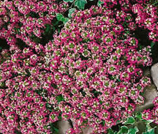 Alyssum Rosie O'Day Lobularia Maritima - 100 Seeds