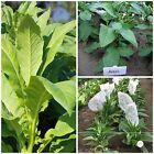 europäische Tabaksamen Samen Kombi-Paket 3 Sorten