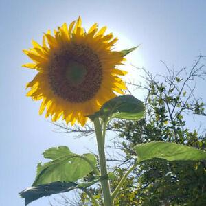 30+ Sunflower Seeds Giant Mammoth Sunflower High Germination Rate
