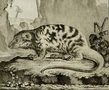 1771 Antique copper engraving: CUSCUS. Australian Possum. Marsupial. Phalanger