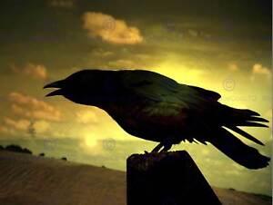NATURE PHOTO RAVEN SILHOUETTE BLACK BIRD POSTER ART PRINT BB184B