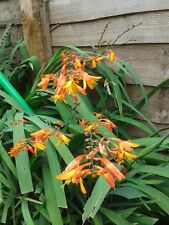 10 CROCOSMIA HARLEQUIN MONTBRETIA PLANT RED YELLOW PERENNIAL KOI POND  BULB