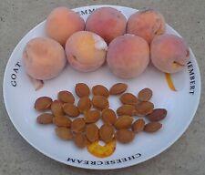 Apricot Tree (Prunus Armeniaca) - 20 or 40 Seeds – абрикос «Краснощёкий»