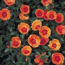 50+ STOPWATCH ORANGE PORTULACA MOSS ROSE SEEDS ANNUAL GROUND-COVER FLOWER SEEDS