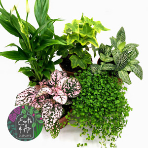 Mix of 5 Terrarium Plants   Includes Fittonia, Hypoestes, Ivy, Moss, Peace Lily