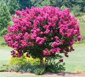 25 Pink Velour Lilac Seeds Tree Fragrant Flowers Perennial Flower 427 US SELLER