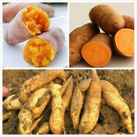 New Yellow Sweet Potato Seeds Vegetables Seeds Fresh Food Fruit Potato Seeds