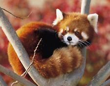 METAL MAGNET Red Panda In Tree aka Shining Cat MAGNET