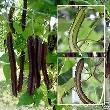 Rare Purple Winged bean, Goa bean Psophocarpus tetragonolobus 10 seeds pack