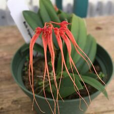 "Bulbophyllum tingabarinum,  Rare Orchid species, Blooming Size,Shipped in 4"" Pot"