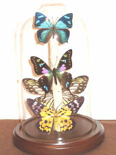 MIxed colors Butterfly Dome