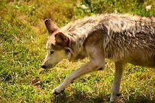 4x6 Wet Wolf Matte Photo Print