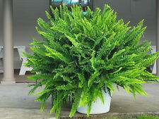 10 Plants - Kimberly Queen Fern/Nephrolepis obliterata Sun or Shade