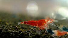 5+1 Red Devil Orange Eyes Shrimp- size Juvenile - Live Guarantee - Mixed Grade