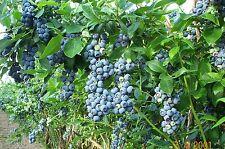 "Blueberry ""Jewel"" High Bush live plant vaccinium"