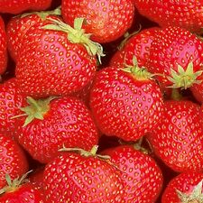 5 /10 / 20 OR 35  x STRAWBERRY PLANTS BARE ROOTED CHOICE OF VARIETIES