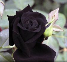 25 semi di ROSA DEEP PURPLE MAROON ROSE + OMAGGIO