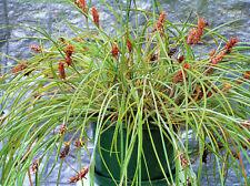 Bromeliad. Mini Trailing Pineapple Plant