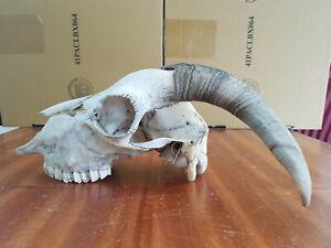 Farm GOAT SKULL Decoration Taxidermy Clean Trophy Horns szM Real Bone Decoration