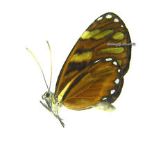 Unmounted Butterfly/Nymphalidae - Ithomia heraldica heraldica, FEMALE, CR