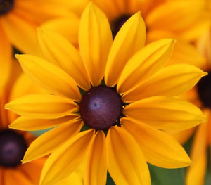 Rudbeckia hirta (Black-eyed Susan Coneflower) Fresh Seeds | Garden Flowers | UK