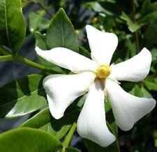 JOY GARDENIA jasminoides highly fragrant large white flowers plant in 140mm pot