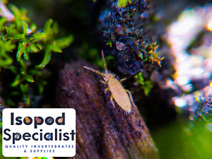 Live Arid Springtails Bioactive Reptile Clean Up Crew and Dart Frog Feeders
