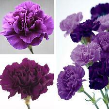 175Pcs Magenta Carnation Dianthus Caryophyllus Flower Seeds Home Garden Decor