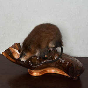 SMALL BEAVER TAXIDERMY MOUNT - MOUNTED, STUFFED ANIMALS FOR SALE - ST6239