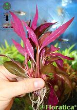7 X Alternanthera Rosaefolia - ROOTED - Live Aquarium Aquatic Plants Fish Tank