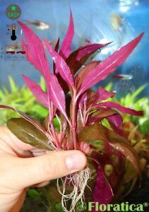 6 X Alternanthera Rosaefolia - Live Aquarium Aquascape InVitro Plants Fish Tank