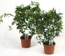 Hoya bella am Spalier 40 cm Wachsblume Porzellanblume Zimmerpflanze