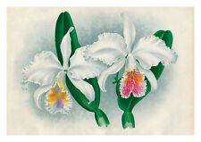 Cattleya Mossiae by Jean Linden Orchids A4 Art Print