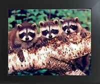Three Raccoon Wildlife Animal Kids Room Wall Decor Framed Picture Art (20x24)