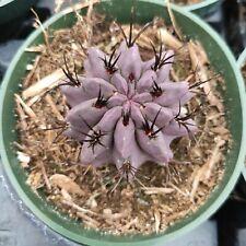 Neoporteria Jussieui Rare Succulent Plant Shown in 4