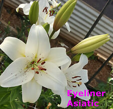 """10x Asiatic Lily Bulbs """" Eyeliner """" White. Flowering Sized Bulbs"""