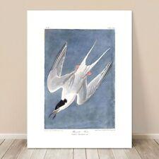 "FAMOUS SEA BIRD ART ~ CANVAS PRINT  8x10"" ~ JOHN AUDUBON ~ Roseate Tern"