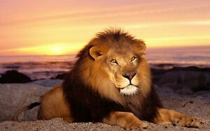 Sunset Lion Animal Nature Wall Art Large Framed Canvas Picture