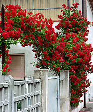 ROSE CLIMBER DEEP RED OVER 100 FRESH SEEDS  WITH SOWING INSTRUCTIONS FREE POST