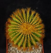 Raaar * Uebelmannia eriocactoides cactus Astrophytum Ariocarpus Copiapoa