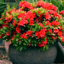 3 X RED AZALEA JAPANESE EVERGREEN SHRUB HARDY GARDEN PLANT IN POT