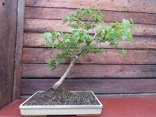 Bonsai Dreispitzahorn / Acer buergerianum / 56 cm hoch