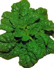 """SPINACH """"Black Magic: 100 seeds no bolt can be used in salads"""