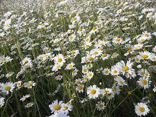 British Wild Flower - Oxeye Daisy Ox-eye  2g - 6000 Seed  Leucanthemum vulgare