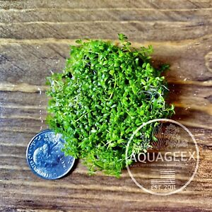(Hemianthus callitrichoides) Cuba Freshwater Live Aquarium Aquatic Plants Moss