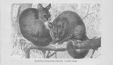 Fuchskusu Trichosurus vulpecula Kusu Holzstich von 1891