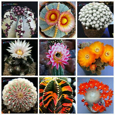 Exotic Cactus Bonsai Seeds Plants Japanese Succulents Flower Indoor Rare 100pcs
